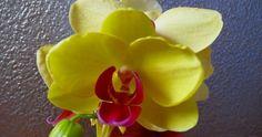 Żółte storczyki