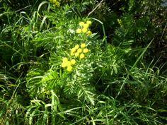Kräuter und Pflanzen richtig sammeln - Wenn man Kräuter sammelt, muss darauf geachtet werden, dass die Pflanzen, die man mitnimmt nicht feucht sind. Das gilt auch für Regen und/oder Morgentau. Am besten wartet man bis gegen Mittag, denn auch die zweite Tageshälfte kann die Pflanze durch Hitze erschlaffen lassen.