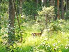 Deer at Skidaway Island, Ga. Near Savannah, Ga Garden Shrubs, Garden Plants, Woodland Critters, Philippines Travel, Pattaya, Town And Country, Travel Information, Savannah Chat, Amsterdam