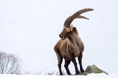 """""""Capra Ibex"""" Recent studies based on mitochondrial DNA suggest the Siberian ibex and the Nubian ibex represent distinct species, which are not very closely related to the physically similar Alpine ibex. The Alpine ibex forms a group with the Spanish ibex. The West Caucasian tur appears to be more closely related to the wild goat than to the East Caucasian tur."""