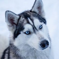 Discover the Secret to Getting Your Siberian Husky to Listen! - siberian husky #husky #siberianhusky #BigDog