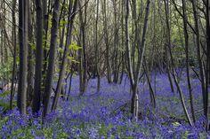Bluebells - Norsey Woods - Billericay