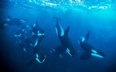 One of the best Picture of Orcas I´ve seen so far. Beautiful, just beautiful…