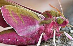 Pink elephant hawk moth (Deilephilia elpenor)