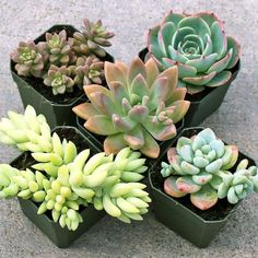 A selection of pastel colored succulents in soft shades of pink, green, blue, purple, and white. Makes a lovely springtime display.  Free Shipping $75+