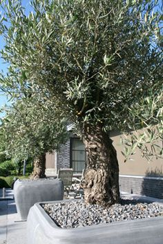 Olive Tree Garden Simple 57 New Ideas Patio Plants, Outdoor Plants, Landscape Design, Garden Design, Home And Garden Store, Tree Plan, Porche, Potted Trees, Mediterranean Garden