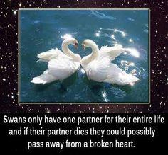 Swans ....