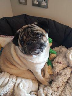 Grumble Of Pugs, Dogs, Animals, Animales, Animaux, Pet Dogs, Doggies, Animal, Animais