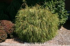 """Whipcord Western Red Cedar (Thuja plicata """"Whipcord""""). Zones 5 – 7. Evergreen. Part to full sun. Slowly grows to 4' tall and wide in 10 years. For the bed at the end of the driveway."""