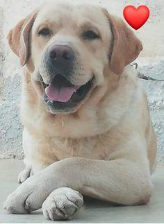Labradors, Oregon, Labrador Retriever, Dogs, Animals, Labrador Retrievers, Animales, Animaux, Pet Dogs