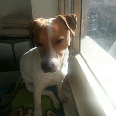 My love arthur,  best Jack Russell Terrier  ❤