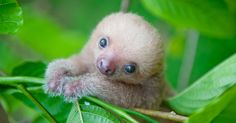 Costa Rica: Animal rights activist shows the most cute sloth photos - Baby Sloth - Baby Animals Pictures, Cute Animal Pictures, Animals And Pets, Funny Animals, Adorable Pictures, Strange Animals, Ugly Baby Animals, Funny Sloth Pictures, Funny Pics