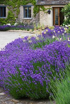 Lavender in the home garden.