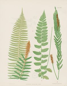 Vintage Fern Prints by Eaton 1797