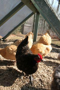 NPR interviews Backyard Chickens