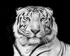 Lerretsbilde Tiger