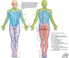 upper extremity dermatomes - Google Search