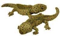 Hellbender salamander   Symbolic animal adoptions from WWF