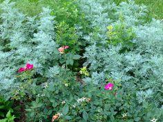 Artemisia and knock out shrub rose.