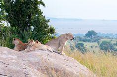luie-leeuwen De schitterende schepsels van de Serengeti