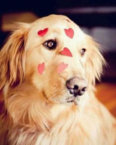 just add golden retriever to the list of dogs I want to own. Love My Dog, Puppy Love, Cute Puppies, Cute Dogs, Dogs And Puppies, Doggies, Golden Retrievers, Baby Animals, Cute Animals