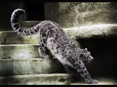 Stretching Snow Leopard by ~Amrahelle on deviantART