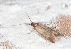 How To: Get Rid of Pantry Moths There's nothing quite like an unwelcome guest who eats you out of house and home. But when that vexing visitor is a pantry moth, it's as much a stomach-turner as anything else. Here, learn how to rid your home of these pests and prevent them from returning.
