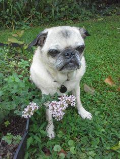 "wombatarama:  ""pug with a little oregano (by wombatarama)  """