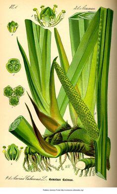 Acorus calamus - Calamo aromatico Proprietà