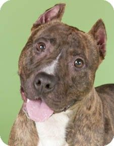 Chicago, IL - American Staffordshire Terrier/American Pit Bull Terrier Mix. Meet Bullwinkle, a dog for adoption. http://www.adoptapet.com/pet/8888821-chicago-illinois-american-staffordshire-terrier-mix