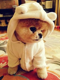 Boo, the world's cutest Pomeranian. A cute puff ball bear baby, dressed like a polar bear. So cute!