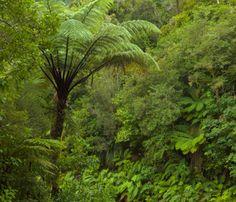 Ponga trees and native bush, subtropical rainforest, fall, West. Native Gardens, Flora And Fauna, Native Plants, Ferns, Nativity, Landscaping, Design Ideas, Stock Photos, Fall
