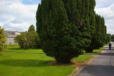 """Yew Avenue with Frank"" Kilcornan House, Clarenbridge, Co Galway. Ruffles, Sidewalk, David, House, Image, Walkway, Ruffle Beading, Side Walkway, Walkways"