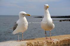seagulls - Google Search