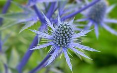 Eryngium variifolium or sea holly suits a seaside spot. Sea holly is a stunning architectural plant with silvery bracts and egg-shaped heads with delicate blue flowers. It is hardy and will grow happily in full sun and poor soil. Seaside Garden, Coastal Gardens, Beach Gardens, Tropical Garden, Holly Plant, Architectural Plants, Sea Holly, Holly Blue, Cottage Garden Plants