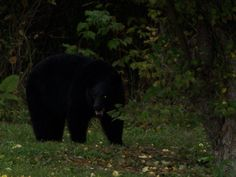 I got up on the wrong side of the bed this spring! Black Bear, Motel, Wildlife, Bed, Spring, Animals, Animales, American Black Bear, Stream Bed