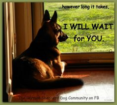 So loyal and patient... so true, this is exactly like my gs pup...waiting by the door