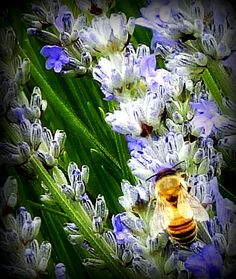 The bees are also loving the lavender.