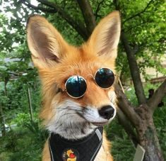 And Other Animals — This fox is cooler than us Cute Baby Animals, Animals And Pets, Funny Animals, Funny Foxes, Wild Animals, Fabulous Fox, Pet Fox, Fox Art, Funny Animal Pictures
