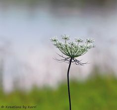 A Little Piece of Me: Queen Anne's Lace ~ Wildflower Elegance