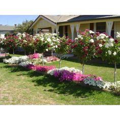Burgundy & White Iceberg - Standard - Treloar Roses - Premium Roses For Australian Gardens