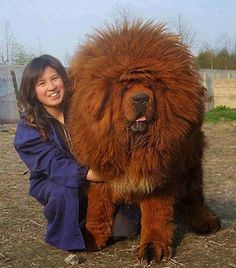 Mastin Tibetano enorme. Tibetan Mastiff.