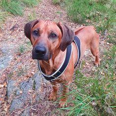 Kingsley (@rr.kingsley) • Instagram-bilder og -videoer Rhodesian Ridgeback, Dogs, Animals, Instagram, Animales, Animaux, Animal Memes, Animal, Pet Dogs
