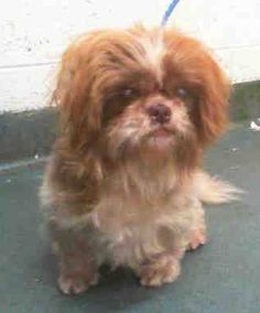 JENNY (A1704315) I am a female tan and white Shih Tzu. The shelter staff think I am about 6 years old. I was found as a stray and I may be available for adoption on 06/16/2015. Miami Dade https://www.facebook.com/urgentdogsofmiami/photos/pb.191859757515102.-2207520000.1434297182./990747980959605/?type=3&theater