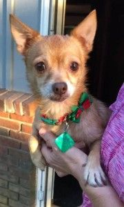 Chihuahua Dog For Adoption In Clarkston Michigan Baby Blonde