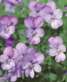 Horned Violet 'Violina Pink' (Viola cornuta)