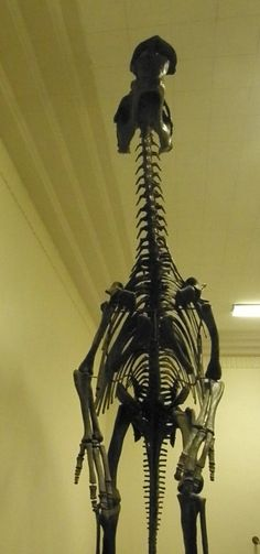 Edmontosaurus saskatchewanensis; view from the front; composite mount (skeleton made from real fossil bones and from reproduction casts of fossil bones); this specimen is in the upright, two-legged posture that most paleontologists now believe to be incorrect; found in the Upper Hell Creek formation near Watauga, South Dakota; currently on display at the Museum of Geology, South Dakota School of Mines, Rapid City, South Dakota