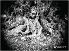 Olea Secret: Ancient Cretan Olive Tree years old. Olive Tree, Crete, Mount Rushmore, Earth, Foods, Island, Travel, Food Food, Food Items
