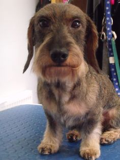 Image Result For Wire Haired Dachshund Grooming