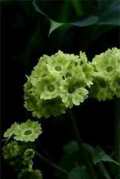 Primula auricula (プリムラオーリキュラ)